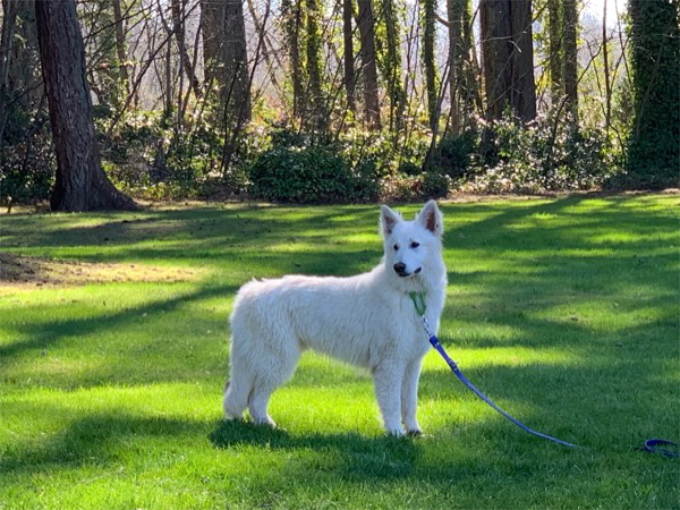 long coated berger blanc suisse