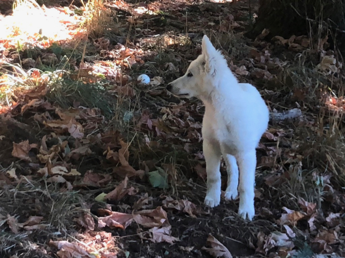 long coat white shepherd