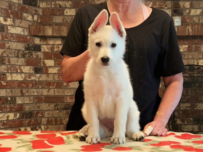 White Shepherd - Furiosa at 8 weeks old