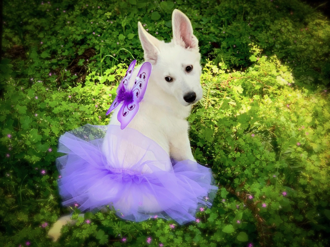 Berger Blanc Suisse - Furiosa dressed as Tinkerbell
