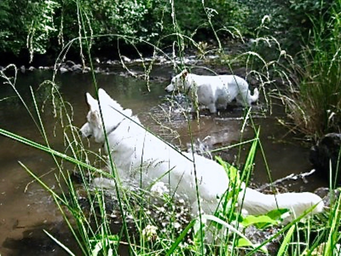 another Hagan berger blanc suisse playing in creek