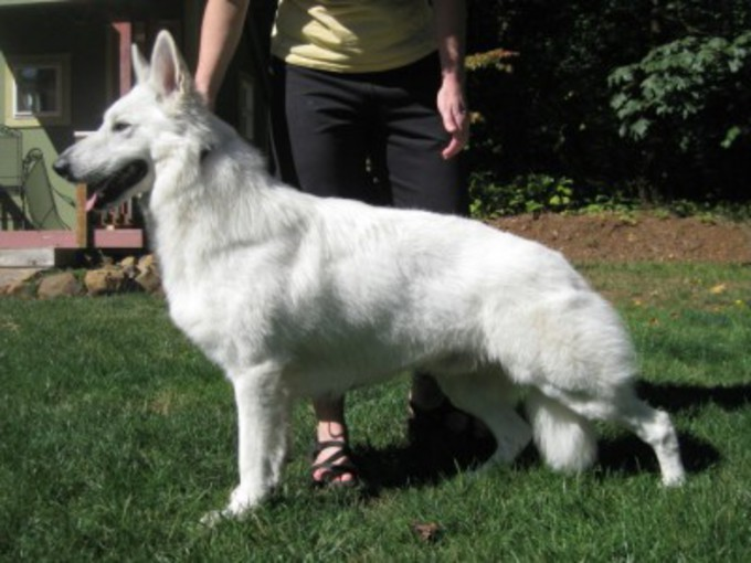Haga white shepherd stacked in yard