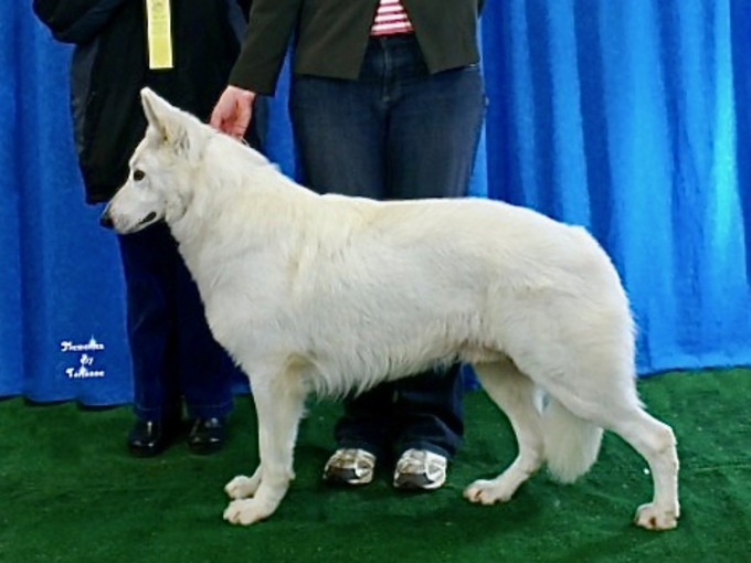 Beautiful white shepherd earning grand champion title