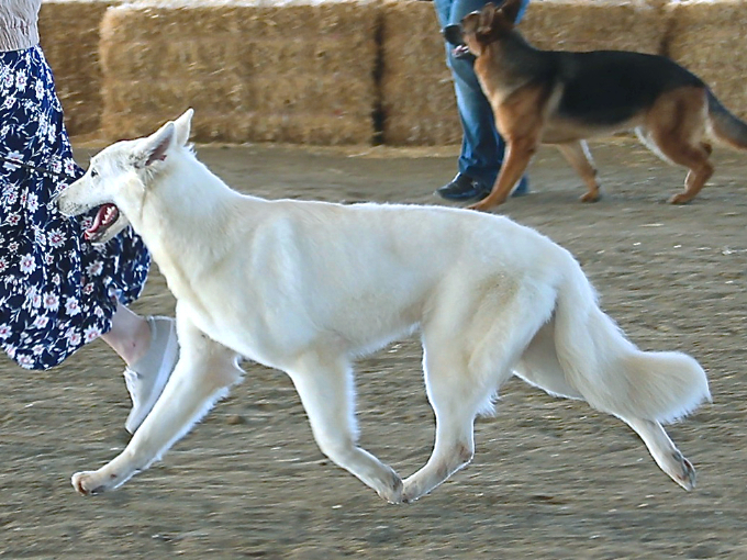 White Swiss Shepherd - Lilith of Moro