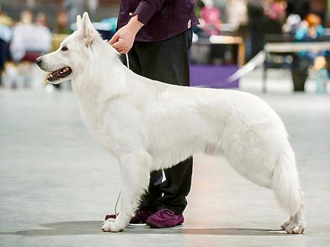 White Swiss Shepherd champion