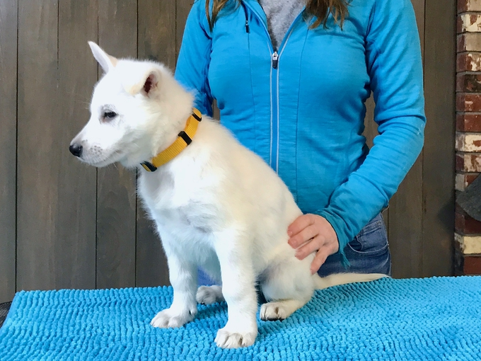 Berger Blanc Suisse - Parsons Lady Sif