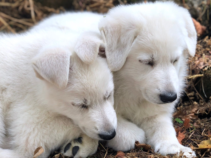 White Swiss puppy_alert